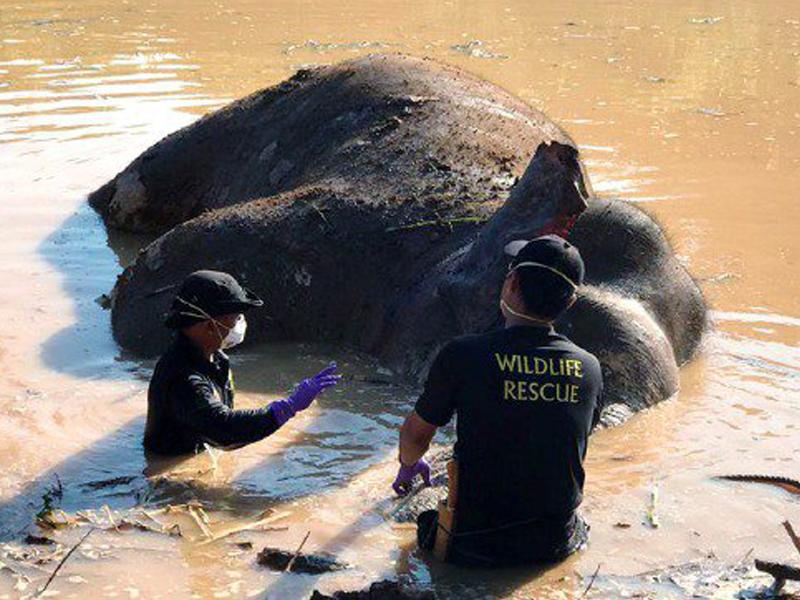 6 Suspek Bunuh Gajah Pygmy Ditahan, Peluru Dirampas