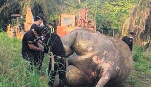 Pegawai, Peneroka Felda Terlibat Siasatan Bunuh Gajah Pygmy