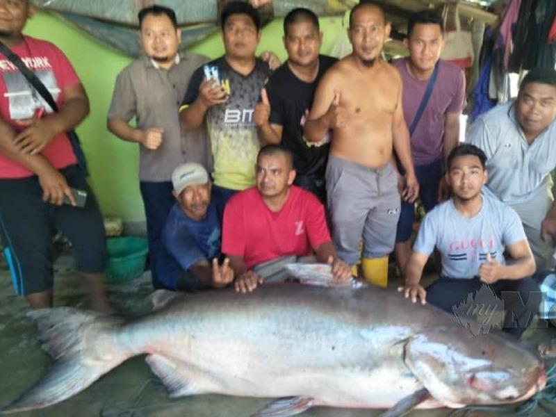 Penduduk Gempar Temui Ikan Patin 150Kg