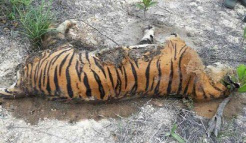 Harimau Belang Mersing Ditemukan Mati