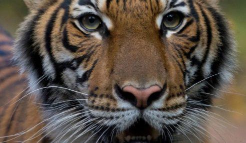 Harimau Malaya Positif COVID-19